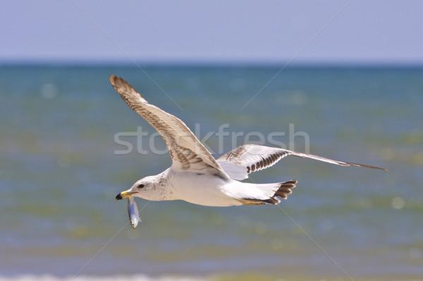 Zeemeeuw vis vliegen vers vogel Stockfoto © erbephoto