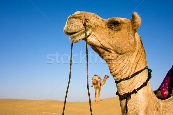 Camel head Stock photo © ErickN