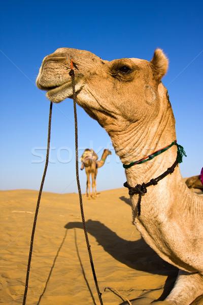Wielbłąda głowie safari pustyni charakter lata Zdjęcia stock © ErickN