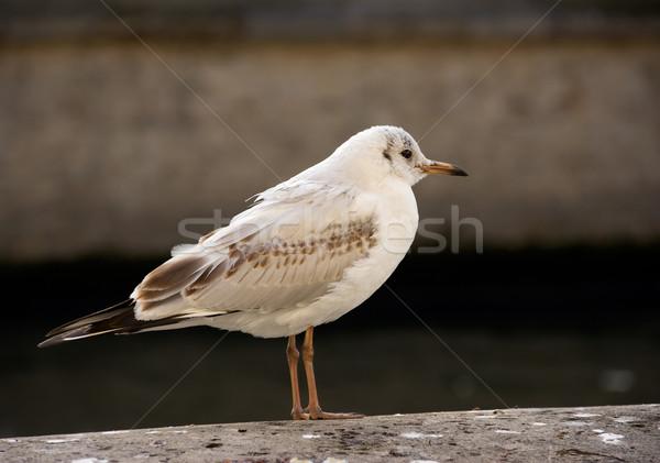 Urban gull Stock photo © ErickN