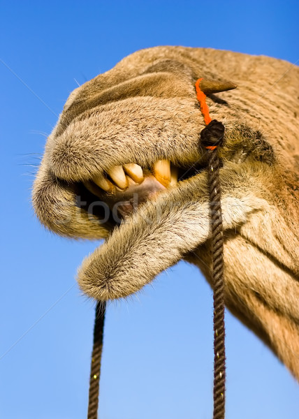 Stock photo: Camel smile