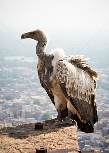 White backed vulture Stock photo © ErickN