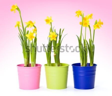 Yellow daffodils in colorful pails  Stock photo © erierika