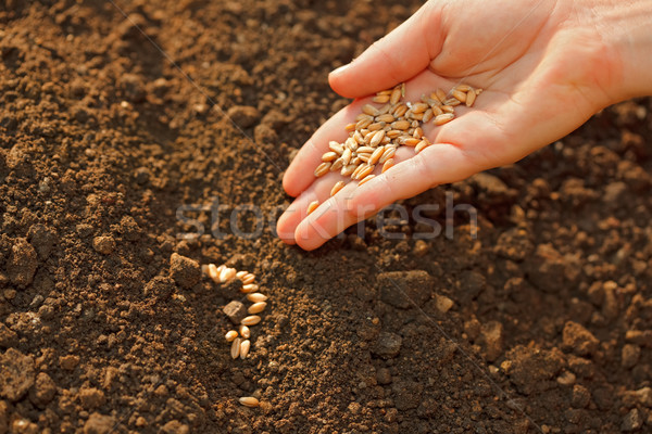 Corn sowing by hand Stock photo © erierika
