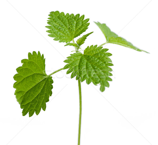 Urtica dioica plant leaves Stock photo © erierika