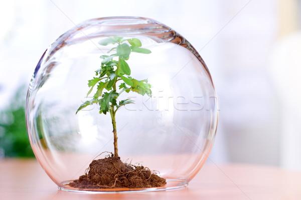 Anlage geschützt grünen innerhalb Glas Bereich Stock foto © erierika