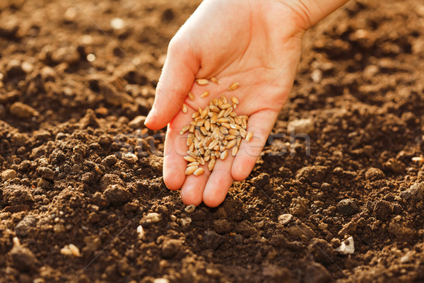 Mais zaaien hand home tuin voedsel Stockfoto © erierika