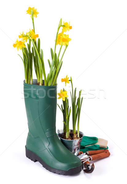 Daffodils in gum boot and gardening tools Stock photo © erierika
