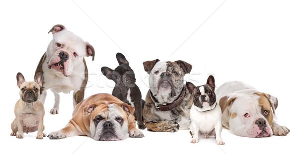 Bulldogge Familie Französisch Hund Hunde Gruppe Stock foto © eriklam