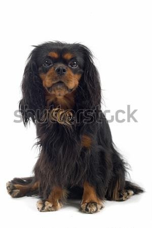 Stockfoto english cocker spaniel in front of a white background