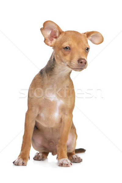 Stock photo: mixed breed chihuahua and miniature Pincher dog