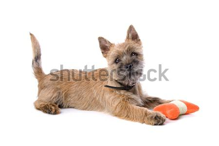 cairn terrier puppy, toy Stock photo © eriklam