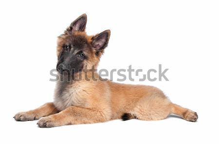 Belgian Shepherd (Tervuren) puppy Stock photo © eriklam