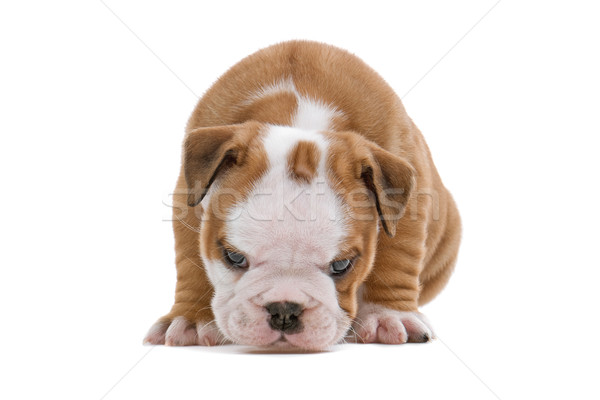 Engels bulldog puppy cute Stockfoto © eriklam