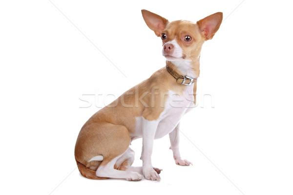 Cão isolado branco Foto stock © eriklam