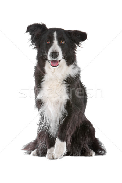 Stock photo: border collie sheepdog