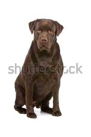 Labrador retriever witte studio huisdier witte achtergrond Stockfoto © eriklam