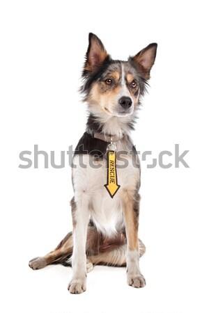 Border collie biały psa granicy ssak Zdjęcia stock © eriklam