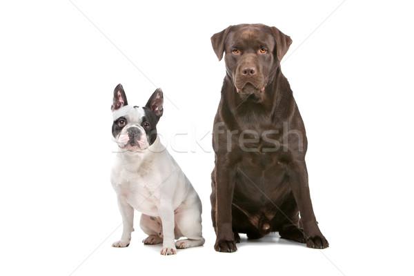 Frans bulldog chocolade labrador retriever hond Stockfoto © eriklam