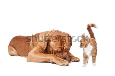 dog and Cat Stock photo © eriklam
