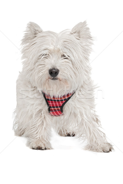 Ouest blanche terrier animaux studio animal Photo stock © eriklam