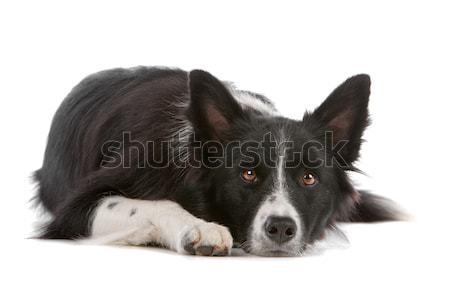 ボーダーコリー 牧羊犬 孤立した 白 犬 国境 ストックフォト © eriklam