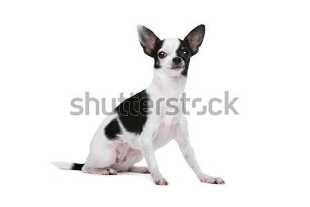 Black and White Chihuahua dog Stock photo © eriklam