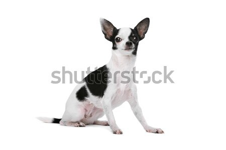 Stock photo: Black and White Chihuahua dog