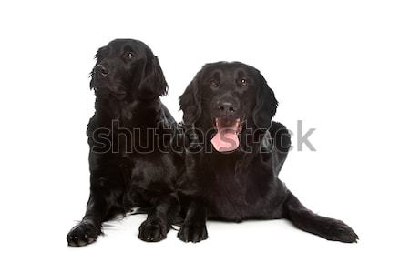 Stock photo: Flat Coat Retriever