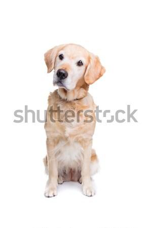 Labrador retriever Stock photo © eriklam