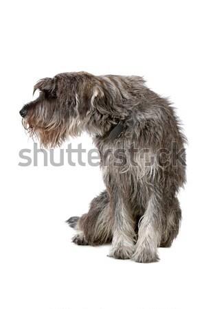 Gigante cão sessão olhando um lado Foto stock © eriklam