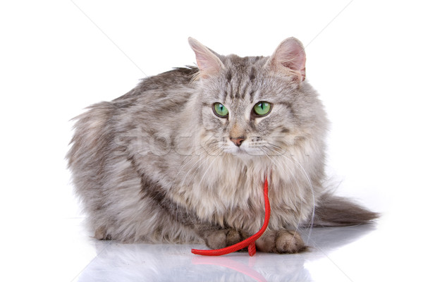 norwegian long haired forest cat  Stock photo © eriklam