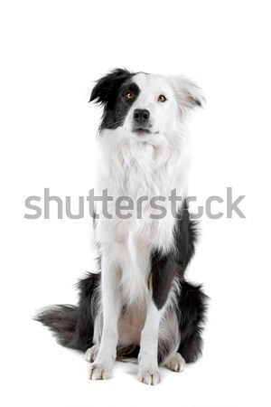 black and white border collie sheepdog Stock photo © eriklam