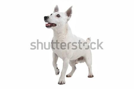 Stock fotó: Fehér · terrier · kutya · izolált · emlős · stúdiófelvétel