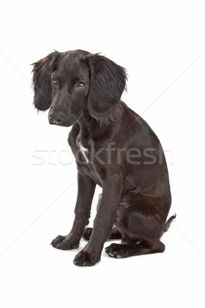 mix breed dog cocker spaniel/flat coated spaniel Stock photo © eriklam