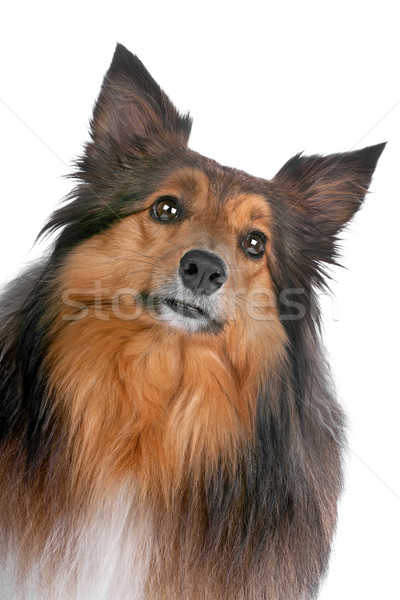 portrait of a sheltie dog Stock photo © eriklam
