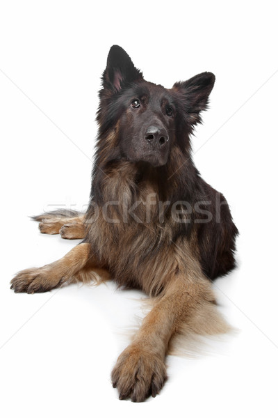 Old German Shepherd Dog Stock photo © eriklam