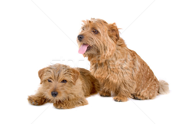 Due norfolk terrier cani cute isolato Foto d'archivio © eriklam