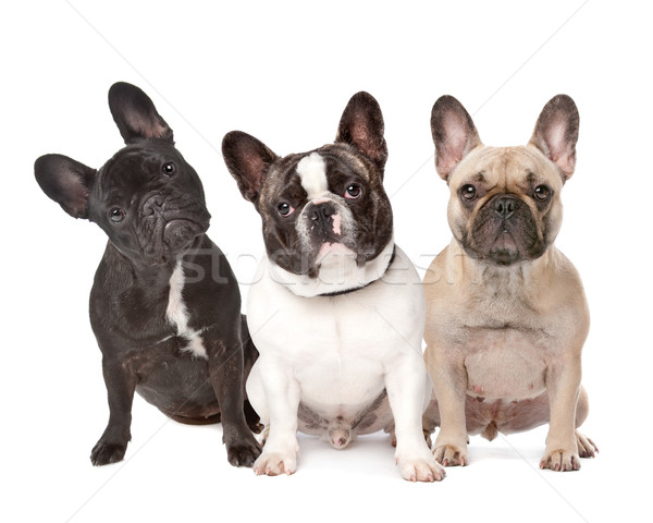 three French Bulldogs in a row Stock photo © eriklam
