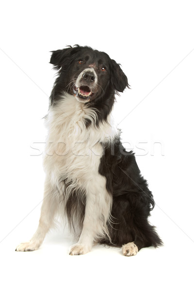 Border collie blanco perro animales estudio Foto stock © eriklam