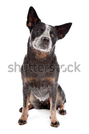 オーストラリア人 牛 犬 白 動物 友達 ストックフォト © eriklam