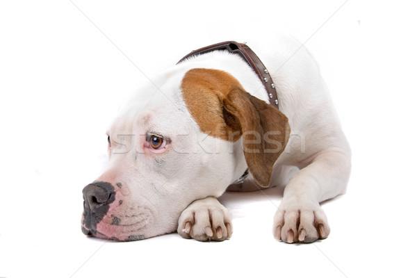 Американский бульдог полу изолированный белый собака портрет Сток-фото © eriklam