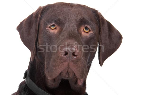 Foto stock: Misto · cão · labrador · retriever · cabeça · olhando