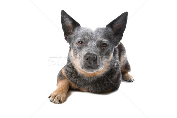 Australian cattle dog (Kelpie, Barb) Stock photo © eriklam