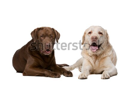 Dachshund and a chocolate labrador pup Stock photo © eriklam