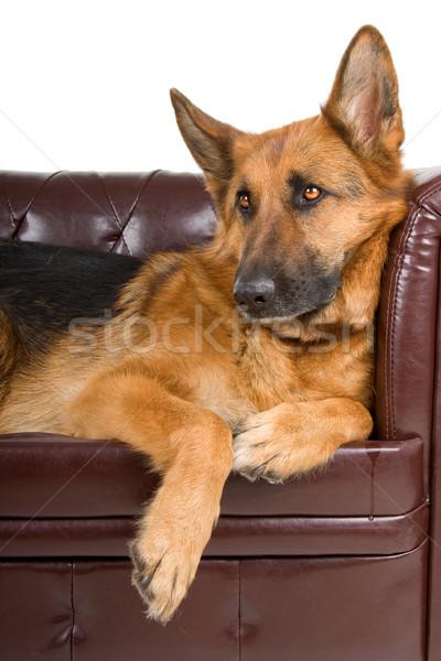 Pastor cão sofá isolado Foto stock © eriklam
