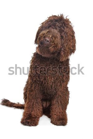 Brown toy poodle Stock photo © eriklam