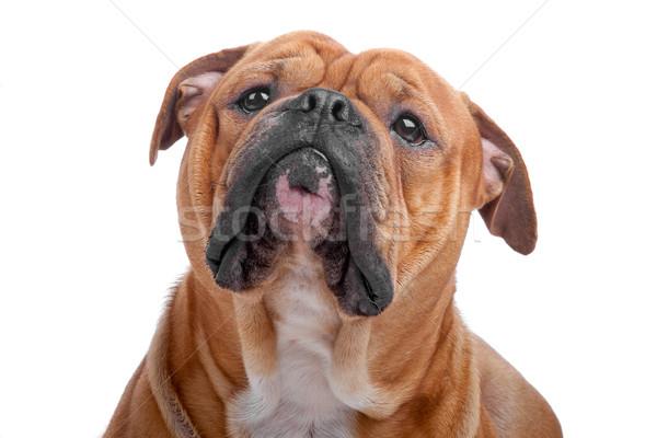 Vieux anglais bulldog tête isolé blanche Photo stock © eriklam