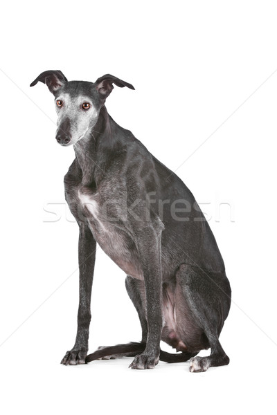 Old greyhound Stock photo © eriklam