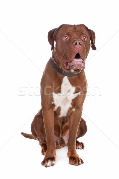 Stock photo: mix bull mastiff,tosa inu